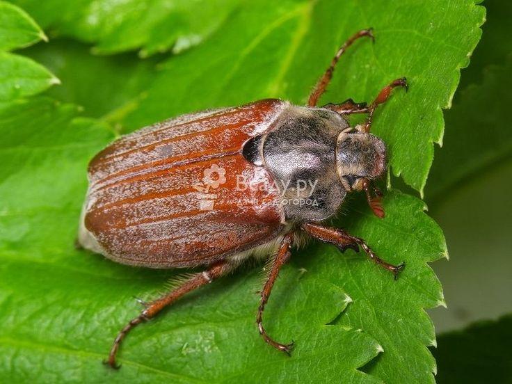 Майский жук (лат. Melolontha)