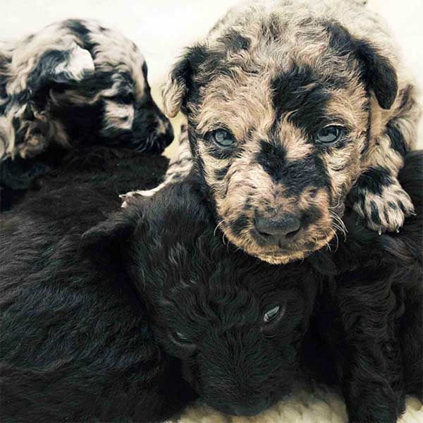 These pups are Mudis, a rare Hungarian herding breed.