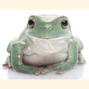 White's/Dumpy Tree Frog Care