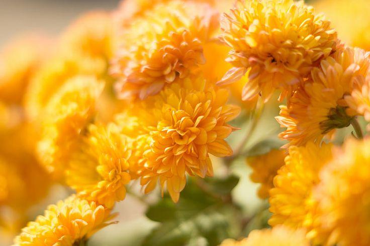 Chrysanthemum Kobe-Sorakuen