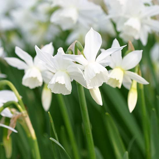 Looking to add spring-blooming bulbs to your yard? Check out these favorites of the garden editors at Better Homes and Gardens.