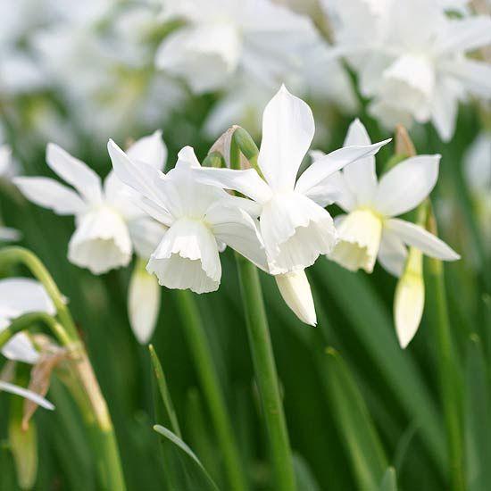 white kings of spring