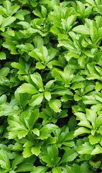 Pachysandra. aangeraden door Appeltern als groenblijvende bodembedekker onder hortensia Annabelle