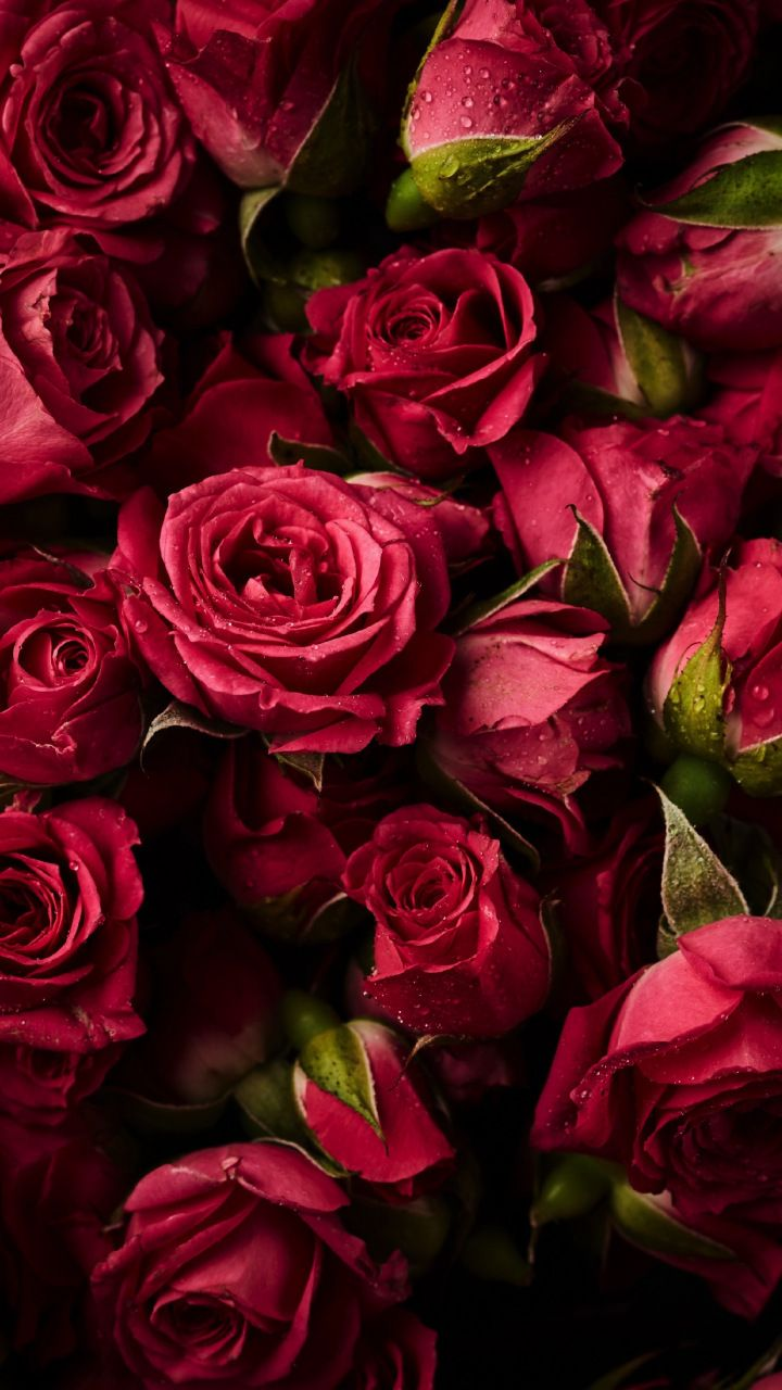 Pink roses, buds, flowers, 720x1280 wallpaper Beautiful