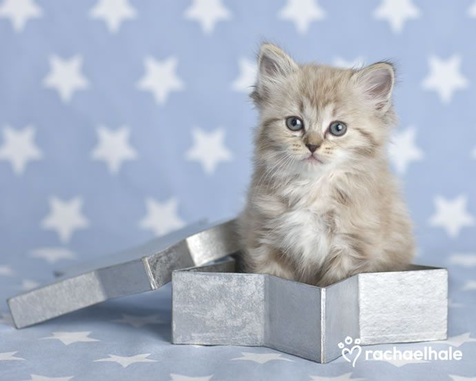 Angel  (Ragdoll X Tiffany) - Star of wonder shining bright, hope Santas got your presents right.