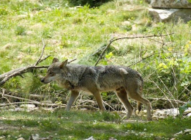 In beeld: wolven in het wild - KnackWeekend.be// © Thinkstock De Mexicaanse grijze wolf is de kleinste wolvensoort in Noord-Amerika. Het is daar ook de meest zeldzame wolf. Aan het begin van de 20e eeuw liep het aantal herten, de natuurlijke prooi van de Mexicaanse wolf, sterk terug.