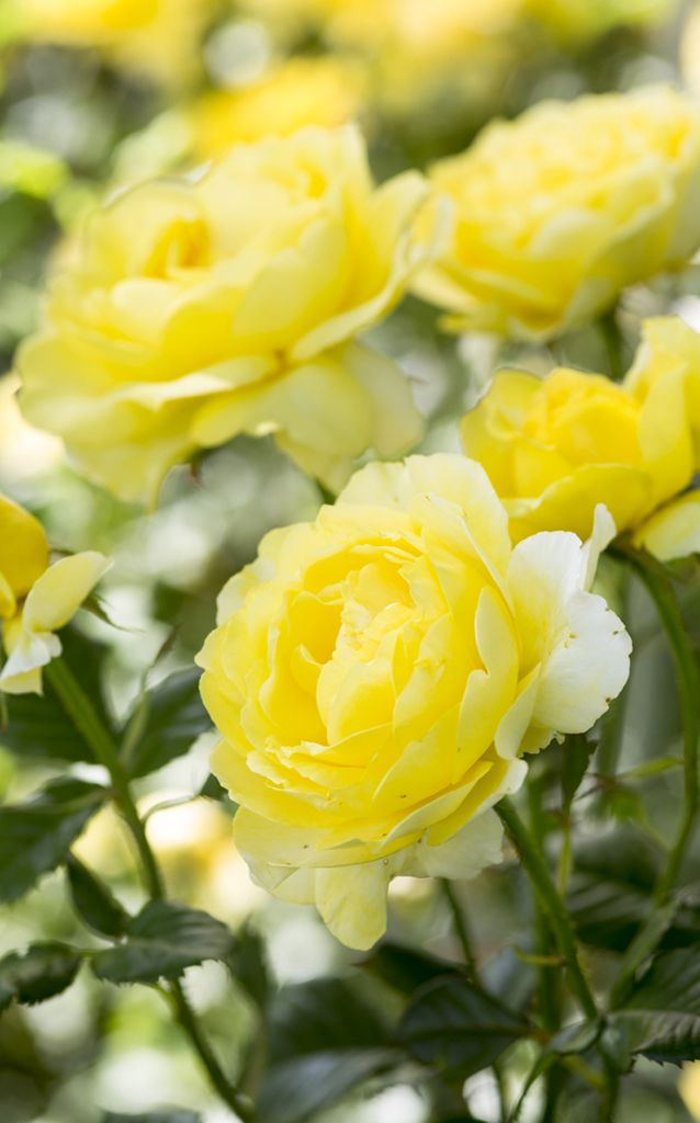 ~Scented roses: 'Mountbatten' is a floribunda rose with zingy yellow blooms and a fruity scent. Photo by Paul Debois.