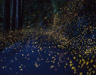 Photographer Tsuneaki Hiramatsu captures firefly flight paths during mating season
