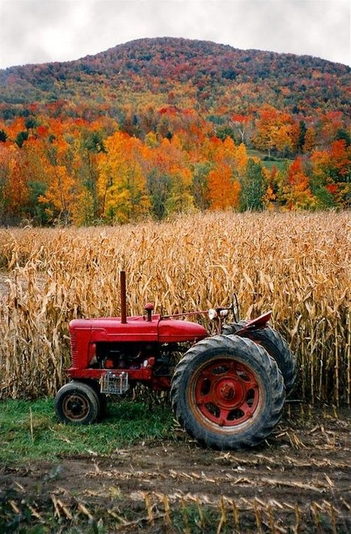 ~Nice Autumn scene, red tractor and cornfield