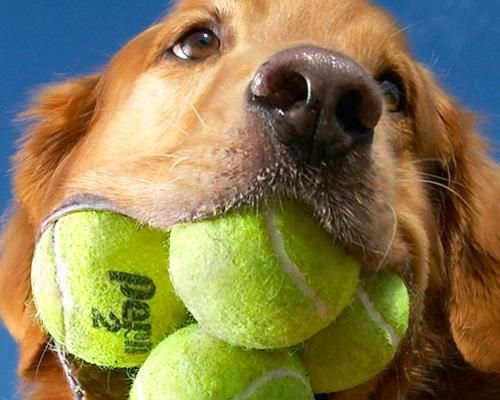 Augie, an 8-year-old golden retriever, holds the world record for most tennis balls in the mouth at one time.: Guinness, Golden Retrievers, Pets, World Records, Dog, Mouths, Photo, Tennis Balls, Animal