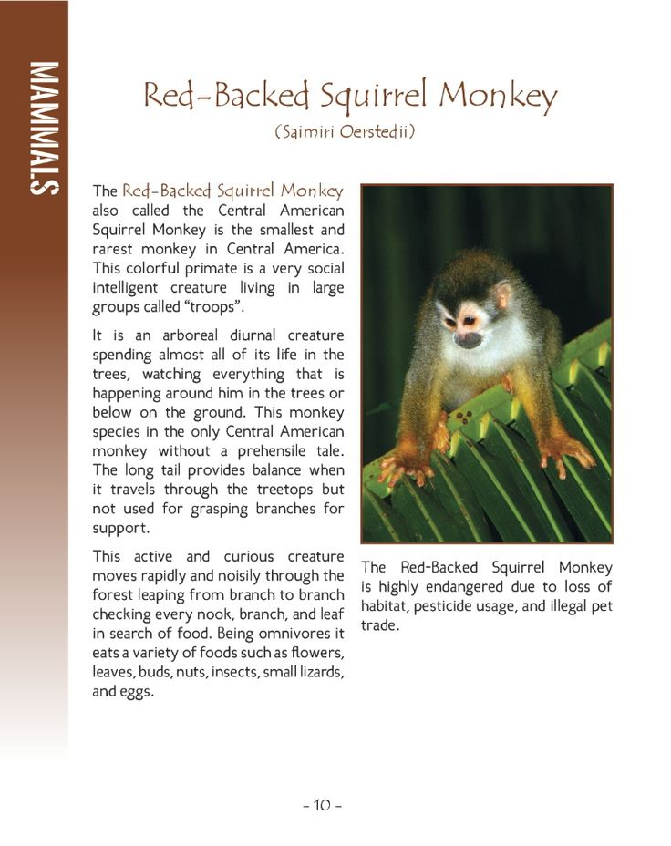 Wildlife in Central America 2; 25 MORE Amazing Animals Living in Tropical Rainforest and River Habitats. Part of Wildlife Around the World Series.   Photographs and Text by Cyril Brass.   Sample - Page 10 Red-Backed Squirrel Monkey