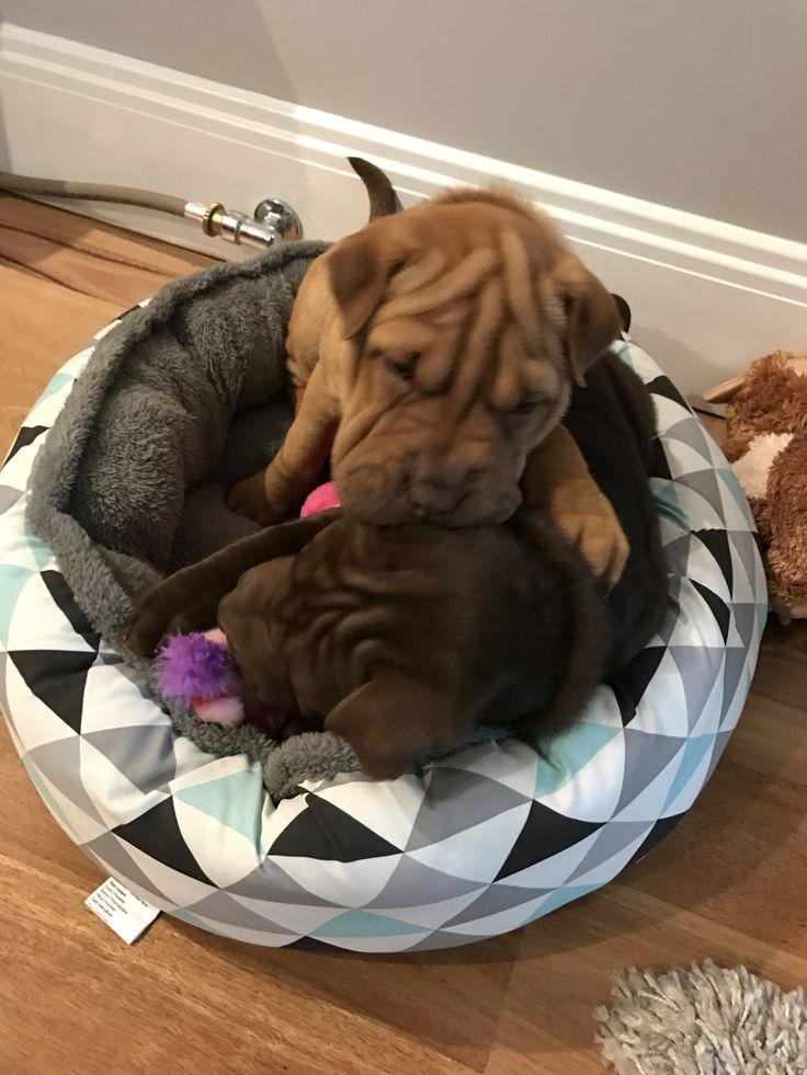 Playful puppies sharpeagle