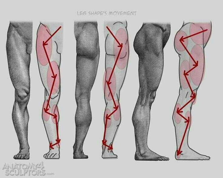 Anatomy human leg