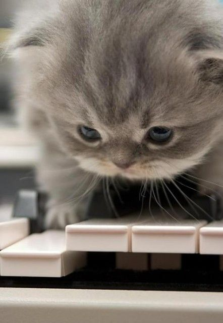awwwww..Hiding Places, Cat, Real Life, The Piano, Humor Animal, Pets, Piano Keys, Kittens, Kitty