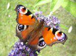 Papillons de Poitou-Charentes