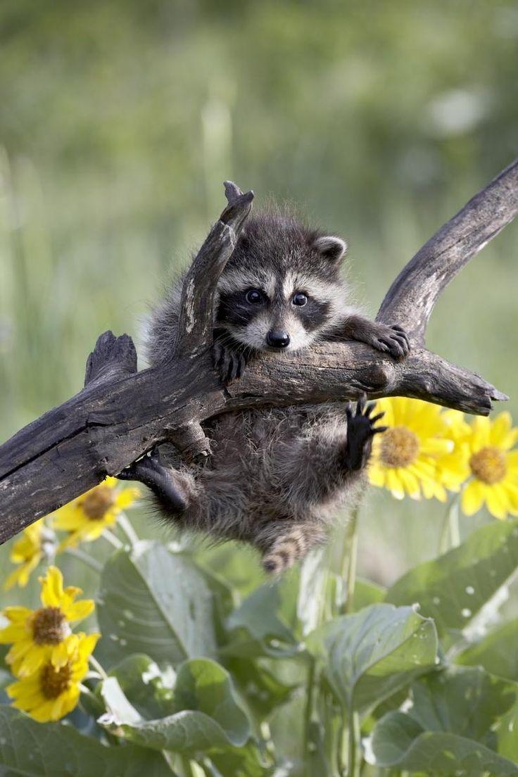 Raccoon in a predicament