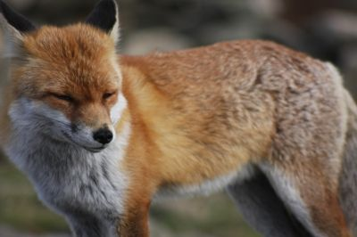 lis - fox / zwierzyna - fauna /  lis / Babiogórski Park Narodowy (BPN) / Babia Góra  #przyroda #zwierzęta #lis #fox #animals #Babia Góra #Beskidy #BPN #Babiogórski Park Narodowy #góry #szlaki górskie #górskie wędrówki #turystyka górska #Poland #Polska