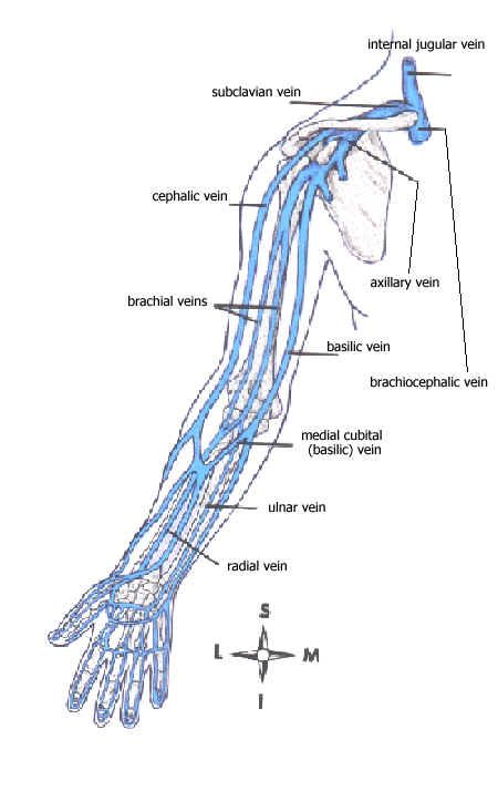 Venous anatomy upper extremity