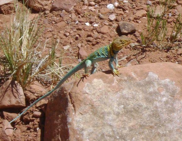 Collared Lizard on the Kokopelli Trail - Do lizards say 'Cheese'?