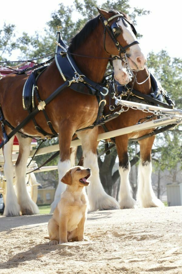 Puppy and Clydesdale horses. Little dog is so cute!