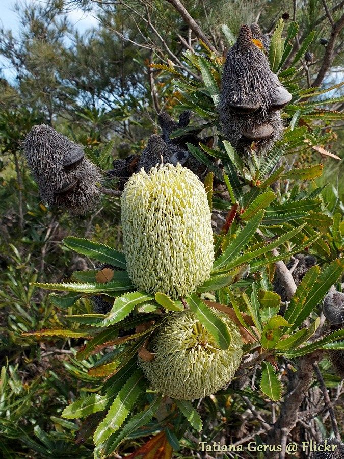 Wallum banksia flowers and cones (fruit) | Banksia aemula No… | Flickr - Photo Sharing!