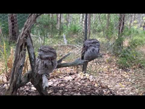 Funny birds they are tawny frogmouths -  #bird #birds  #birding #animale #bird_watchers_daily #animal #birdwatching #pets #nature_seekers #birdlovers Super funny video  - #Birds