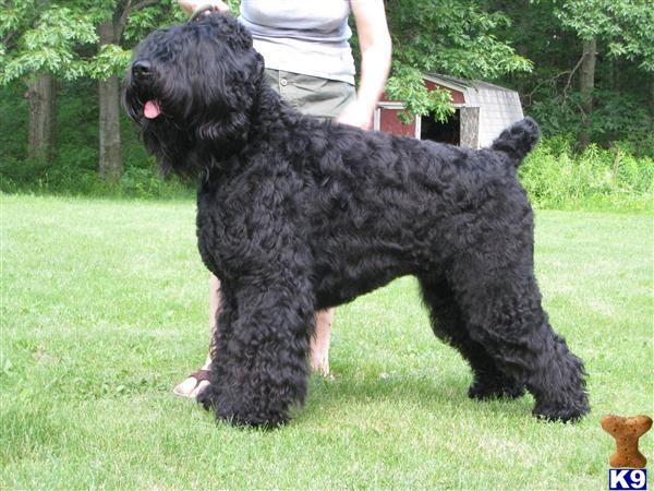 Black Russian Terrier : All Dog Breed and Photos                                                                                                                                                                                 More