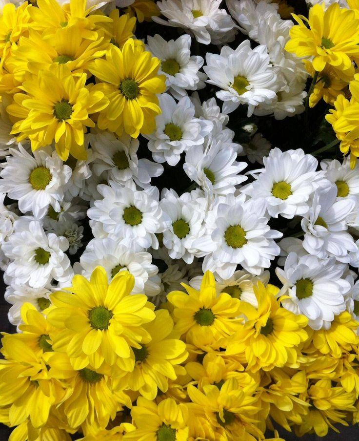 margarita gigante flores - photo #17