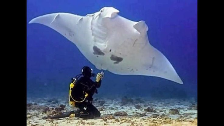 [New 2014] The World's biggest Manta