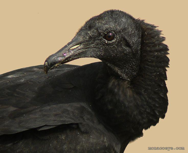 black vulture images - black vulture images - International Vulture Awareness Day, Saturday, Sept. 6, 2014