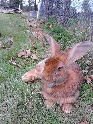 Harvey, Flemish Giant Rabbit
