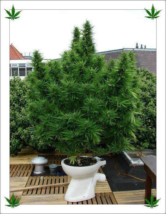 how to grow one weed plant in your closet