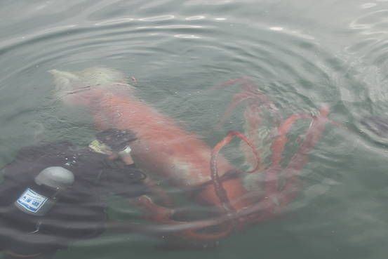 A diver takes a closer look at a giant squid swimming inside a marina last week in Japan's Toyama prefecture. - Mizuhashi Fisherina