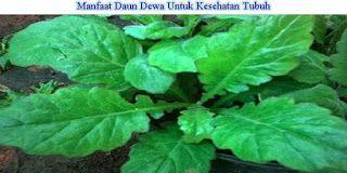 Terapi Herbal, Buah dan Sayuran : Terapi Herbal Daun Dewa Untuk Pencegahan Stroke da...