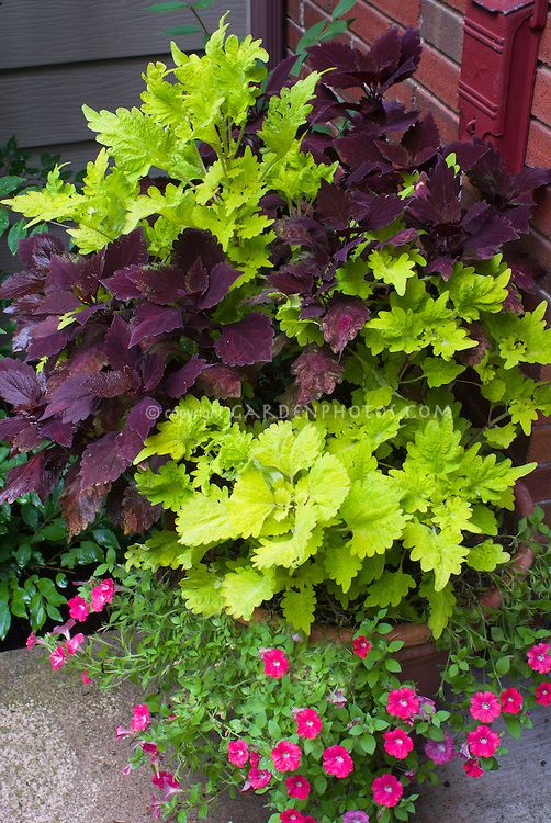 Love the contrasting shades of coleus, and the hot pink superbells