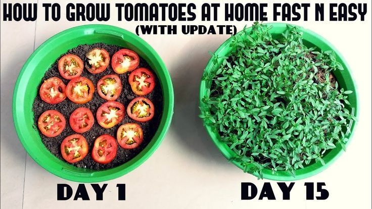 Grow Tomatoes From Tomatoes Easiest Method Ever With Updates