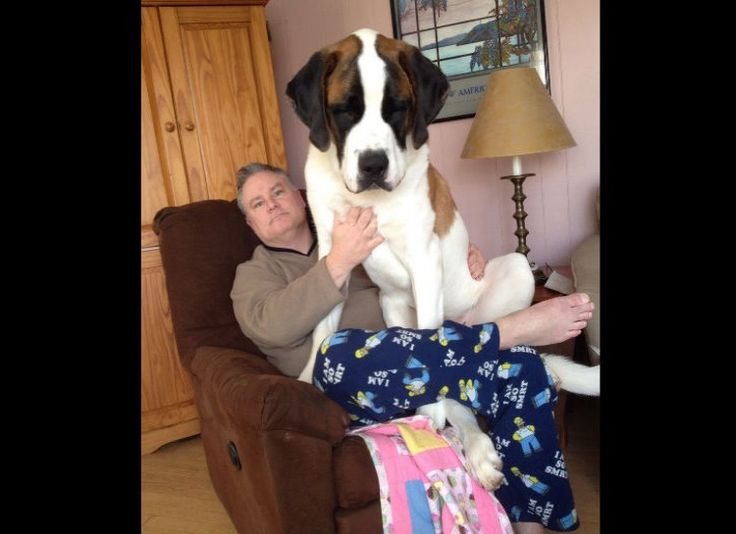 Best Giant Dogs Ideas On Pinterest Giant Dog Breeds Big - Guy uses photoshop to turn his miniature dog into a giant