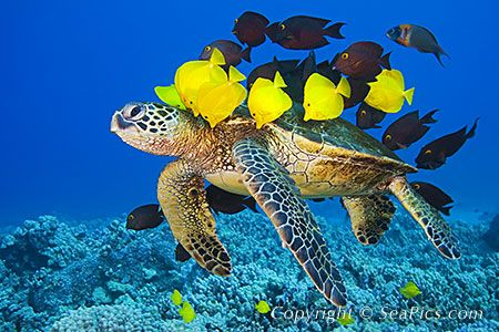 Green Sea Turtle Being Cleaned By Various Reef Fish