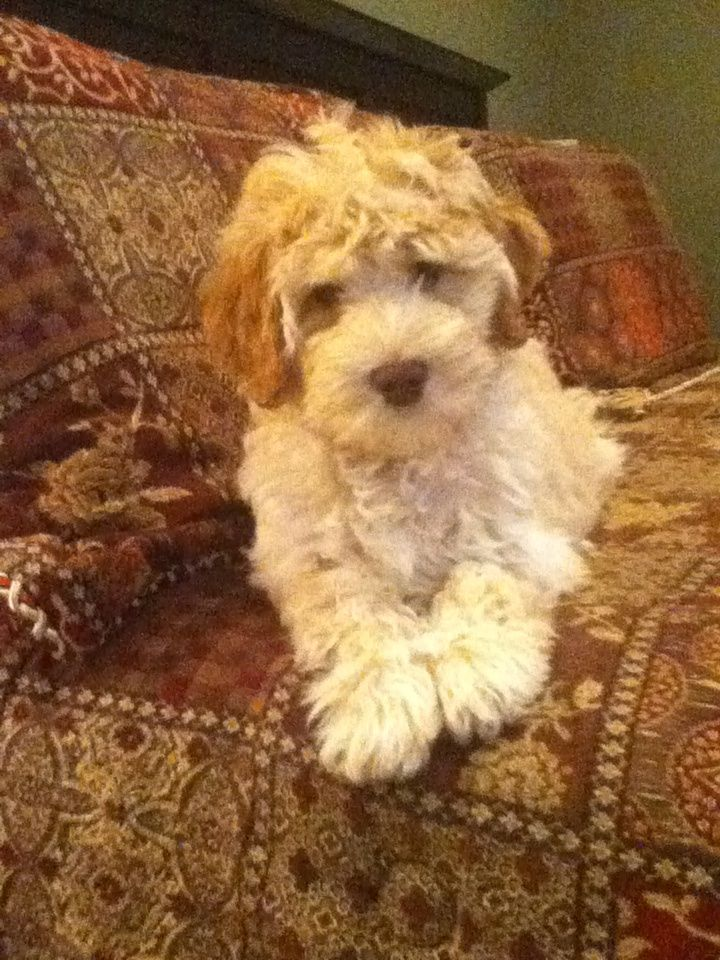 1000+ ideas about Small Labradoodle on Pinterest   Labradoodle ...