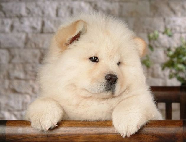 27 best images about Baby chow chows on Pinterest   Chow chow ...