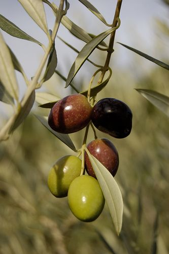 Isaiah 17:6  Yet gleaning grapes shall be left in it, as the shaking of an olive tree, two or three berries in the top of the uppermost bough, four or five in the outmost fruitful branches thereof, saith the LORD God of Israel.