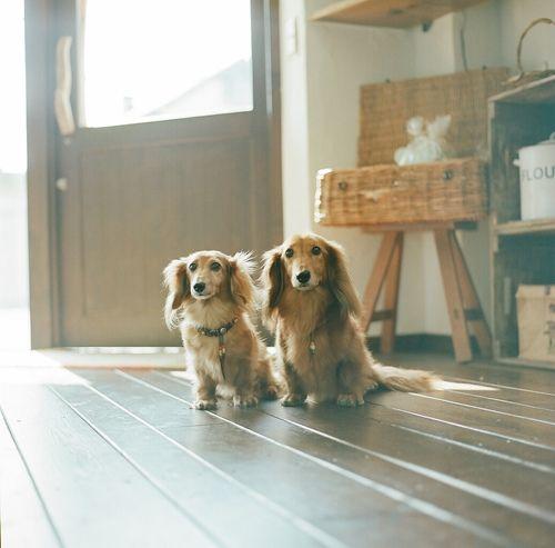 lovely pair of dachshunds