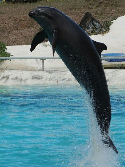 Wholphin hybrid of false killer whale and bottlenose dolphin