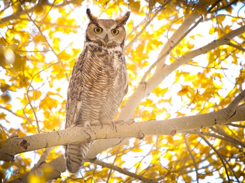Grey Horned Owl available at http://www.towneditions.com