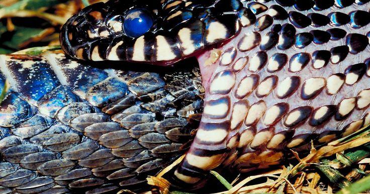Tipos de serpientes negras y amarillas . Existen miles de especies de serpientes, que varían en tamaño, tipos y colores. Ser capaz de identificar una especie de serpiente puede algunas veces ser vital en el caso de ser mordido. Muchas especies de serpientes pueden ser descritas como de color amarillo y negro. La mayoría son indefensas, pero algunas pueden ser peligrosas.