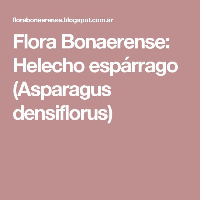 Flora Bonaerense: Helecho espárrago (Asparagus densiflorus)