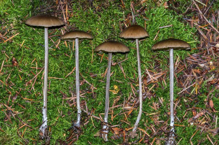 Résultats de recherche d'images pour «champignon pied mince»