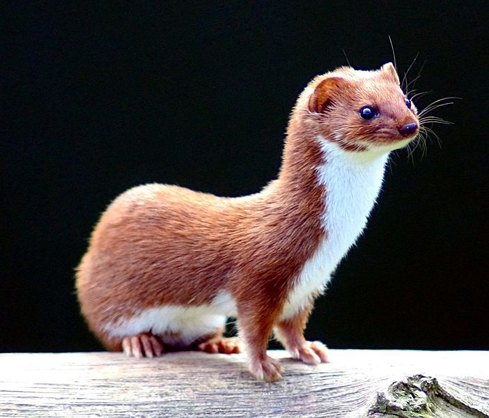 The common weasel, Mustela nivalis - curiously common, yet curiously hard to find!