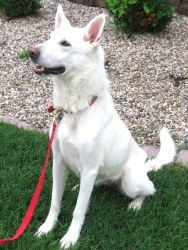 White German Shepherd named Lily visited us now and then. Now Sonia does.