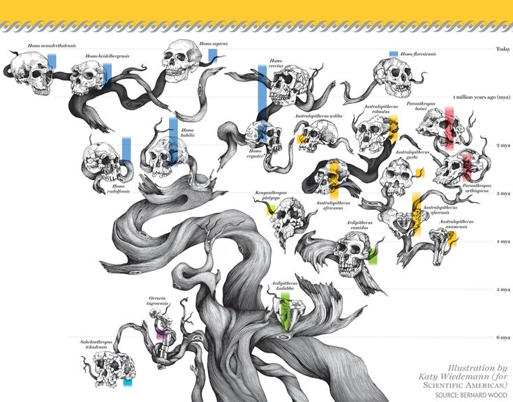 """HUMAN FAMILY TREE used to be a scraggly thing..."" [Illustration by Katy Wiedemann, Source: Bernard Wood; in ""Where We Came From"" By Bernard Wood, Scientific American, September 2014]"